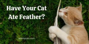 Have Your Cat Ate Feather? Risks To Be Aware Of!