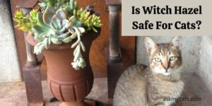 Is Witch Hazel Safe For Cats? How To Use It?