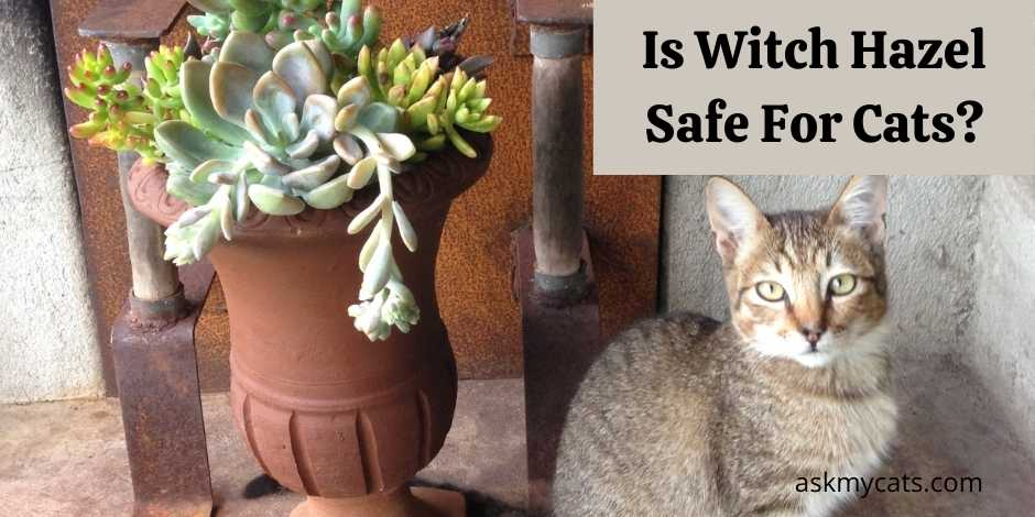 Is Witch Hazel Safe For Cats?