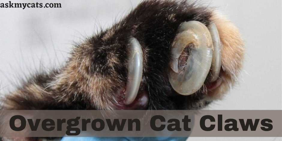Overgrown Cat Claws