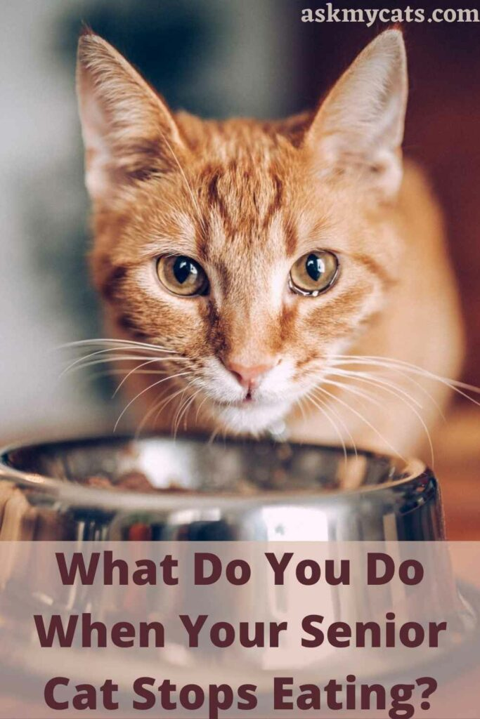 What Do You Do When Your Senior Cat Stops Eating?