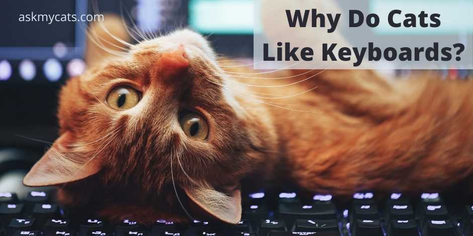 Why Do Cats Like Keyboards