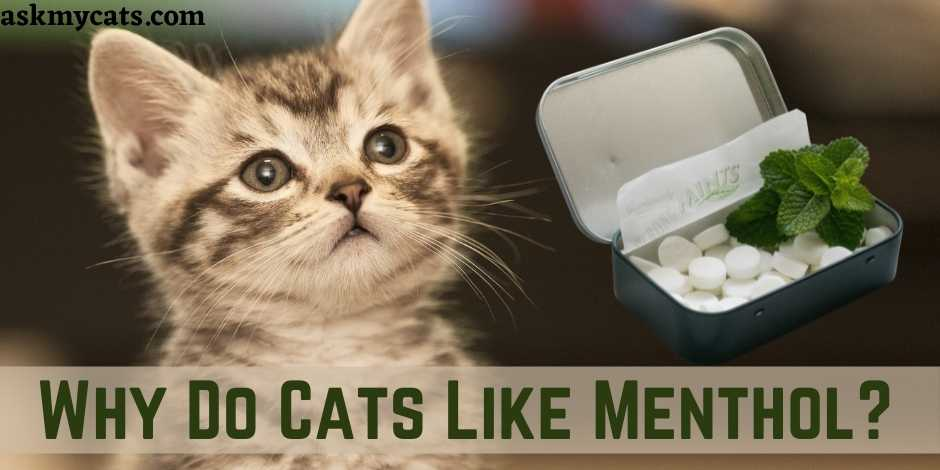 Why Do Cats Like Menthol?