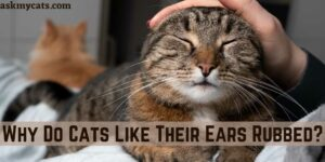 Why Do Cats Like Their Ears Rubbed?