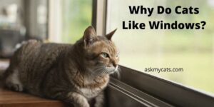 Why Do Cats Like Windows? Why Do They Look Out Of Window?