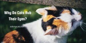Why Do Cats Rub Their Eyes? Look Out For All Possible Problems!
