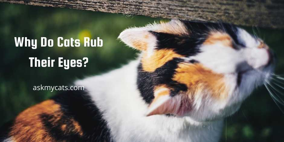 Why Do Cats Rub Their Eyes