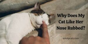 Why Does My Cat Like Her Nose Rubbed?